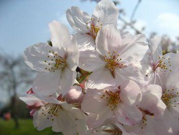 桜0329.jpg